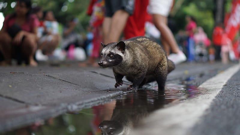 Mengenal Kopi Luwak Indonesia, Salah Satu Kopi Termahal di Dunia